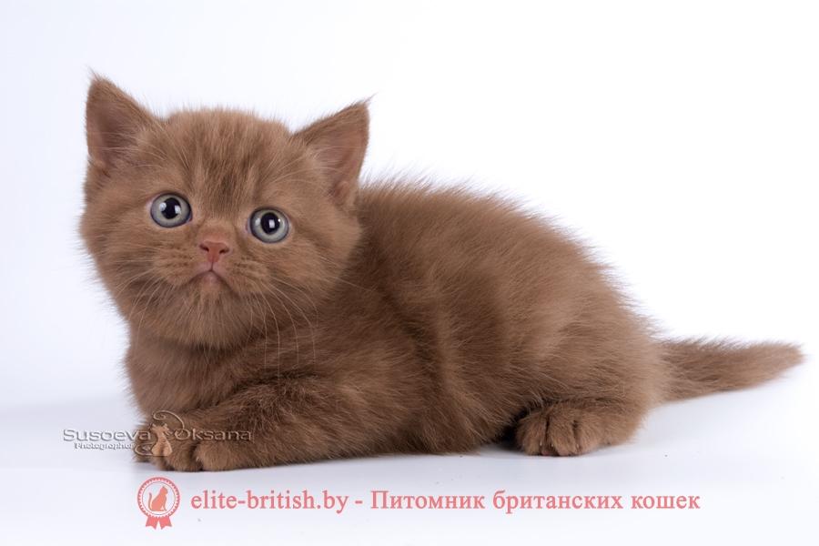британская кошка фавн, британский кот фавн, британцы фавн, окрас фавн британских кошек, британская кошка фавн, британский кот фавн, британцы фавн, окрас фавн британских кошек, британский короткошерстный котенок цвета корицы, британские котята цвета корицы, британский короткошерстный котенок цвета корицы, британские котята цвета корицы, циннамон британец, британские кошки циннамон, британский кот циннамон, британские котята циннамон, британцы окраса циннамон, циннамон британец фото