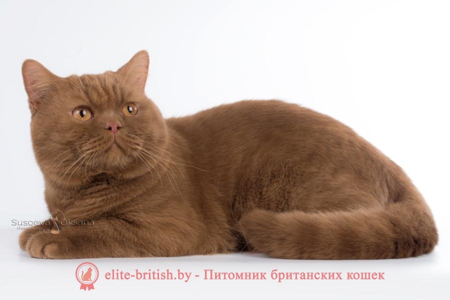 британский короткошерстный котенок цвета корицы, британские котята цвета корицы, британский короткошерстный котенок цвета корицы, британские котята цвета корицы, циннамон британец, британские кошки циннамон, британский кот циннамон, британские котята циннамон, британцы окраса циннамон, циннамон британец фото