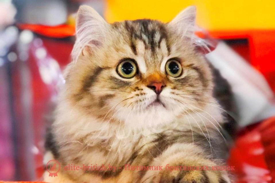 британская длинношерстная кошка фото, британская длинношерстная кошка, длинношерстные британцы фото, британские длинношерстные котята, британский длинношерстный кот, британские длинношерстные коты фото, длинношерстный британец, ританская длинношерстная кошка цена, британская длинношерстная кошка купить, британская длинношерстная кошка характер, куплю британского длинношерстного котенка, британский котенок длинношерстный фото, кот британец длинношерстный фото, породы кошек британская длинношерстная, британская длинношерстная кошка окрасы, британская вислоухая длинношерстная кошка фото, порода кошек британская длинношерстная фото, британец длинношерстный цена, длинношерстные британцы купить, британцы длинношерстные уход, британские длинношерстные кошки уход, британские кошки вислоухие длинношерстные, британская длинношерстная кошка черная, кот британец длинношерстный, котята британцы длинношерстные