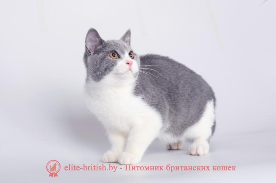 купить британского котенка, купить британца, британец голубой фото, голубые британцы фото, британский кошки голубой, британская голубая кошка, британская голубая кошка фото, британской голубой кошки фото, кот британский голубой, коты британские голубые, голубые британские котята фото, британский голубой котенок фото, британский голубой кот фото, фото британского голубого кота, окрас британских котят голубой фото, британские котята голубого окраса фото, британцы коты фото голубые, кот голубой британец фото, британский голубой котенок, британские голубые котята, британская вислоухая кошка фото голубая, британская голубая кошка фото цена, голубые британцы, голубой британец, британский голубой вислоухий кот, британский голубой вислоухий кот фото, британские голубые вислоухие коты фото, голубые британцы вислоухие, голубой вислоухий британец, британские коты голубого окраса фото, котенок британец голубой фото, котята голубые британцы фото, британский кот голубого окраса, голубой британец цена, голубые британцы цена, британец короткошерстный голубой, британские голубые кошки цена, кошка британская голубая характер, британская голубая короткошерстная кошка фото, британский голубой котенок цена