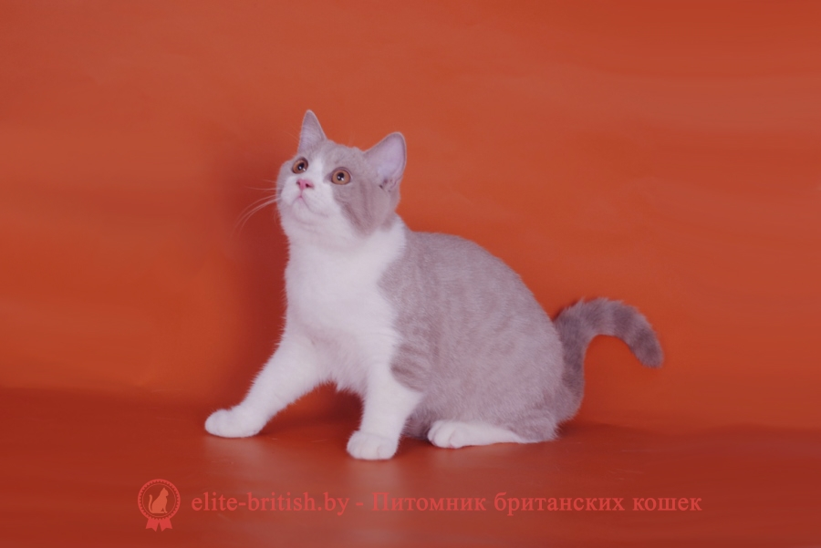 купить британского котенка, купить британца,лиловый британец, фото лиловых британцев, британец лиловый фото, британский лиловый котенок, фото лиловых британских котят, британские котята фото лиловые, британец, биколор британская кошка, кот британский биколор, британский котенок биколор, голубой биколор британец, биколор британец, британские котята биколор фото, британцы биколор фото, британские коты лилового окраса фото, британская кошка фото лиловая, фото лиловой британской кошки, британские котята лилового окраса фото, лиловая британская кошка, британские котята лилового окраса, британский лиловый кот фото, лиловый британский кот, лиловый окрас британских кошек фото