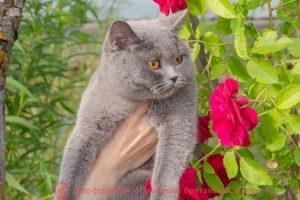 Kiara Wonderful cats (BRI a) голубая британская кошка
