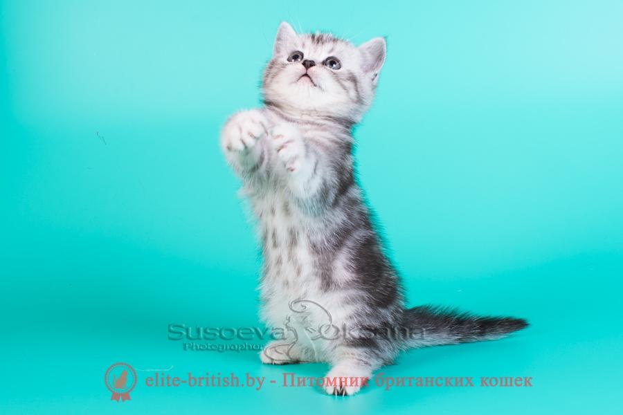 британский кот серебристый, серебристый британец фото, серебристые британцы, британские серебристые котята, тикированный британец, серебристый тикированный британец, кошки британские серебристые, британская короткошерстная окраса серебро, британский кот мраморный, мраморный британец, мраморный окрас британских котят, британский кот мраморного окраса, мраморный окрас британской кошки, британец мраморного окраса, котята британцы мраморный окрас, мраморный окрас британских котят, серебристый мраморный британец, британская мраморная кошка характер, британский кот мраморного окраса, британец голубой мрамор, британец черный мрамор на серебре, красный мраморный британец, британская мраморная кошка, мраморный окрас британской кошки, британские кошки черный мрамор, мраморная британская короткошерстная кошка, британские кошки мрамор на серебре, британский кот черный мрамор, британский кот мрамор на серебре, британский мраморный котенок, британские котята мрамор, британские котята мрамор на серебре, британский котенок черный мрамор, британец мрамор, британец мрамор на серебре, британец мраморный кот, британец мраморного окраса, черный мраморный британец, черный мрамор британцы, мраморный вислоухий британец, котята британцы мраморный окрас, мраморные британцы котята, британские котята мраморного окраса фото, мраморный британец фото, мраморная британская кошка фото, британские кошки мраморного окраса фото, британские коты мраморные фото, британские котята фото мраморные, британцы мрамор на серебре фото, кот британец фото мраморный, британцы мраморный окрас фото,