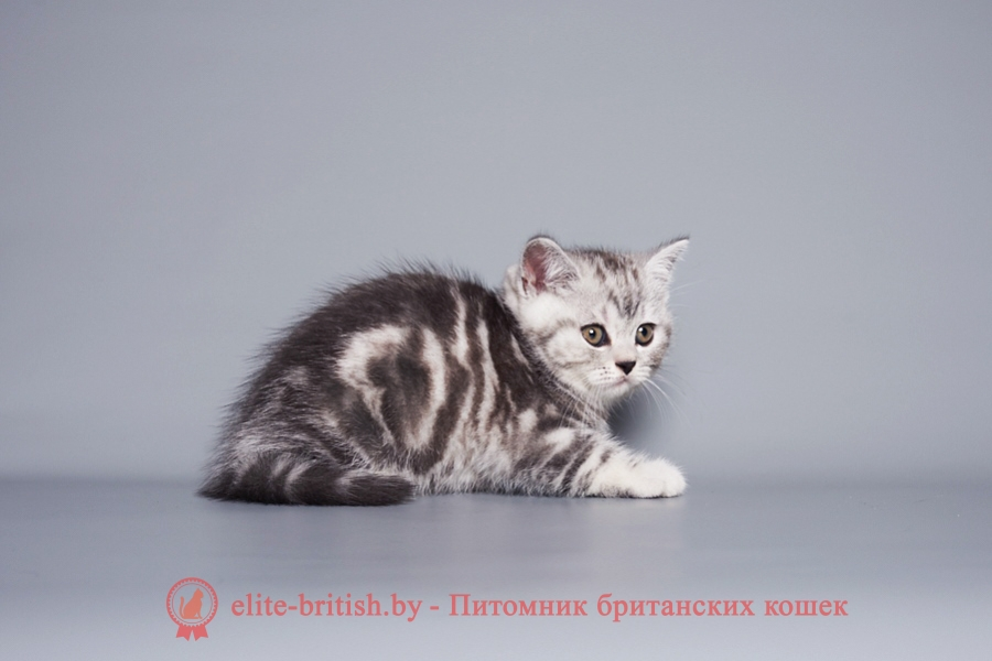 Мраморный табби окрас британских кошек