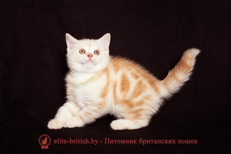 Табби окрас британцев : мраморный (мрамор полосатый