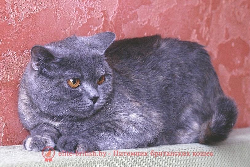 купить британского котенка, купить британца, британец голубой фото, голубые британцы фото, британский кошки голубой, британская голубая кошка, британская голубая кошка фото, британской голубой кошки фото, кот британский голубой, коты британские голубые, голубые британские котята фото, британский голубой котенок фото, британский голубой кот фото, фото британского голубого кота, окрас британских котят голубой фото, британские котята голубого окраса фото, британцы коты фото голубые, кот голубой британец фото, британский голубой котенок, британские голубые котята, британская вислоухая кошка фото голубая, британская голубая кошка фото цена, голубые британцы, голубой британец, британский голубой вислоухий кот, британский голубой вислоухий кот фото, британские голубые вислоухие коты фото, голубые британцы вислоухие, голубой вислоухий британец, британские коты голубого окраса фото, котенок британец голубой фото, котята голубые британцы фото, британский кот голубого окраса, голубой британец цена, голубые британцы цена, британец короткошерстный голубой, британские голубые кошки цена, кошка британская голубая характер, британская голубая короткошерстная кошка фото, британский голубой котенок цена, британские голубые котята цена, голубые вислоухие британские котята фото, коты голубые британцы