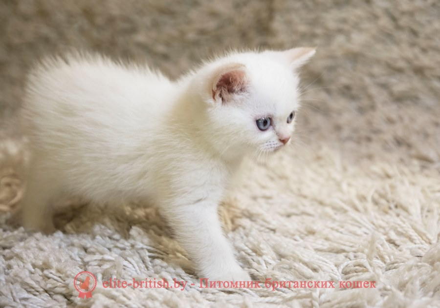 британский кот красный поинт, британец колор поинт, британская кошка поинт колор, британский кот поинт, британские котята поинт, британские котята красный поинт, британские котята колор поинт, красный поинт британец, британцы ред поинт, британец поинт, британские котята сил поинт, британские кошки красный поинт, британские котята окраса красный поинт, британец красный поинт фото, британец колор поинт фото, британская кошка колор поинт фото, красный пойнт британские кошки, британские кошки колор пойнт, красный пойнт британские котята, красный пойнт британцы, колор пойнт британец, кот британский колор пойнт, британские котята колор пойнт, Ред-поинт, Red-point BRI d 33