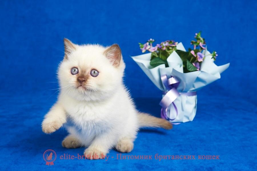 купить британского котенка, купить британца, британский кот блю поинт, британец колор поинт, британская кошка поинт колор, ританский кот поинт, британские котята поинт, британские котята блю поинт, ританские котята колор поинт, блю поинт британец, британцы лилак поинт, британец поинт, британские котята сил поинт, британские кошки блю поинт, британские котята окраса блю поинт, британец блю поинт фото, британец колор поинт фото, британская кошка колор поинт фото, блю пойнт британские кошки, британские кошки колор пойнт, блю пойнт британские котята, блю пойнт британцы, колор пойнт британец, кот британский колор пойнт, британские котята колор пойнт, шоколадные британцы фото, британские кошки шоколадного окраса фото, британские шоколадные котята фото, британские кошки шоколадный окрас, шоколадный британец, британская шоколадная кошка фото, британский шоколадный кот фото, купить британского котенка шоколадного окраса, котенок британец шоколадный, шоколадные британцы котята фото, шоколадная британская кошка, шоколадный британский кот, британские коты шоколадного окраса, британские коты шоколадного окраса фото, британские котята шоколадного окраса фото, британец кот шоколадный, шоколадный британский котенок, британский котенок шоколадного окраса, шоколадные британские котята купить, британский вислоухий шоколадный котенок, купить шоколадного котенка британца, кошки британцы шоколадные, шоколадные британцы купить, британцы окрас шоколадный, британец шоколадного цвета