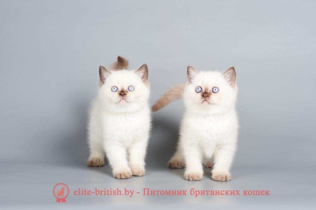 британский кот шоколад поинт, британец колор поинт, британская кошка поинт колор, британский кот поинт, британские котята поинт, британские котята чоко поинт, британские котята колор поинт, шоколад поинт британец, британцы шоколад поинт, британец поинт, британские котята сил поинт, британские кошки шоколад поинт, британские котята окраса шоколад поинт, британец шоколад поинт фото, британец колор поинт фото, британская кошка колор поинт фото, шоколад пойнт британские кошки, британские кошки колор пойнт, чоко пойнт британские котята, шоколад пойнт британцы, колор пойнт британец, кот британский колор пойнт, британские котята колор пойнт