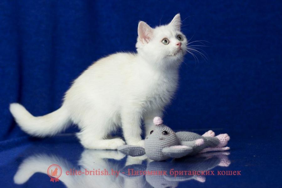 купить британского котенка, купить британца, британский кот блю поинт, британец колор поинт, британская кошка поинт колор, ританский кот поинт, британские котята поинт, британские котята блю поинт, британские котята колор поинт, британец поинт, британец колор поинт фото, британская кошка колор поинт фото, блю пойнт британские кошки, британские кошки колор пойнт, британские котята, колор пойнт британец, кот британский колор пойнт, британские котята колор пойнт