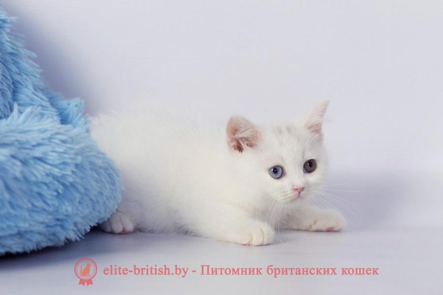 купить британского белого котенка, британец белого окраса, британские котята белого окраса, белые британцы, белый британец, белые британские коты фото, британский белый кот фото, белые британские котята фото, британский котенок белый фото, белый британец фото, белые британцы фото, британские коты белые, белый британский кот, британские котята белые, британский белый котенок, коты белые британцы, белый британец кот, вислоухий британец белый фото, вислоухие белые британцы фото, белый британский вислоухий кот, белые британские котята купить, белый вислоухий британец, черно белые британцы, черно белый британец, белый британец купить, черно белый британский кот, британец белый цена, британец котенок белый, белые британцы котята, белые британцы цена, кот британец черно белый, кот британец фото белый,