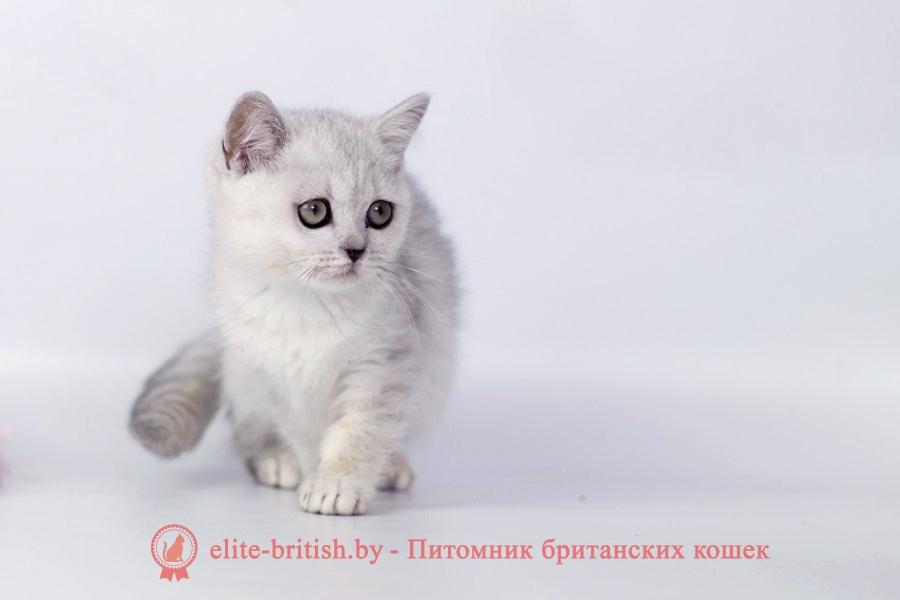 британские котята черепахового окраса фото, черепаховый окрас британской кошки фото, черепаховый британец, британская черепаховая кошка фото, британцы черепахового окраса фото, кошки британские черепахового окраса, черепаховый британский кот, британские коты черепахового окраса, британская черепаховая кошка, британские черепаховые котята, британские котята черепахового окраса, британцы черепаховый окрас, черепаховые британцы фото, британские кошки черепахового окраса, британцы черепахового окраса, британская кошка черепаховый окрас фото, котята британские черепаховый окрас, британец черепахового окраса фото, британские котята черепахового окраса фото, британская кошка черепаший окрас, британский кот черепахового окраса , британский кот серебристый, серебристый британец фото, серебристые британцы, британские серебристые котята, затушеванный британец, серебристый затушеванный британец, кошки британские серебристые, британская короткошерстная окраса серебро
