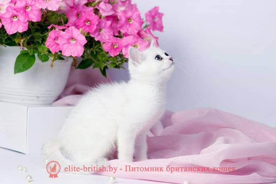 британский кот серебристый, серебристый британец фото, серебристые британцы, британские серебристые котята, затушеванный британец, серебристый затушеванный британец, кошки британские серебристые, британская короткошерстная окраса серебро, британцы серебристая шиншилла, котята британские серебристые шиншиллы, британский кот серебристая шиншилла, британские кошки серебристая шиншилла, британская окрас серебристая шиншилла, британский кот блю поинт, британец колор поинт, британская кошка поинт колор, ританский кот поинт, британские котята поинт, британские котята блю поинт, ританские котята колор поинт, блю поинт британец, британцы лилак поинт, британец поинт, британские котята сил поинт, британские кошки блю поинт, британские котята окраса блю поинт, британец блю поинт фото, британец колор поинт фото, британская кошка колор поинт фото, блю пойнт британские кошки, британские кошки колор пойнт, блю пойнт британские котята, блю пойнт британцы, колор пойнт британец, кот британский колор пойнт, британские котята колор пойнт