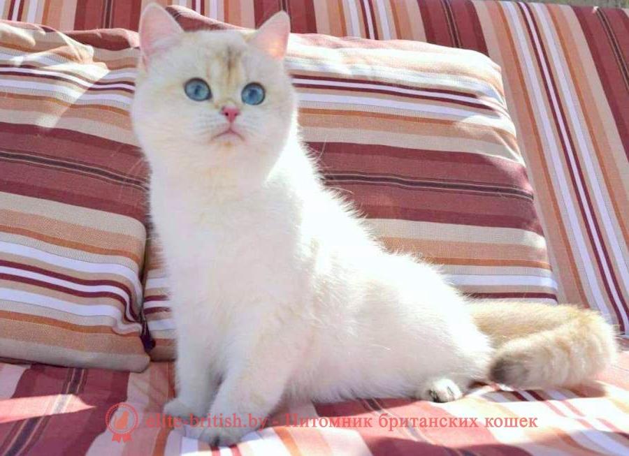 британский кот блю поинт, британец колор поинт, британская кошка поинт колор, ританский кот поинт, британские котята поинт, британские котята блю поинт, британские котята колор поинт, блю поинт британец, британцы лилак поинт, британец поинт, британские котята сил поинт, британские кошки блю поинт, британские котята окраса блю поинт, британец блю поинт фото, британец колор поинт фото, британская кошка колор поинт фото, блю пойнт британские кошки, британские кошки колор пойнт, блю пойнт британские котята, блю пойнт британцы, колор пойнт британец, кот британский колор пойнт, британские котята колор пойнт, золотой британский кот, золотые британцы фото, золотой британец, британская кошка золотая шиншилла, британский кот шиншилла золотая, золотой тикированный британец, британец золотая шиншилла, британец золотистый, котята британские окрас золотая шиншилла, британская кошка золотая шиншилла фото, британец окрас золотая шиншилла фото, британский золотой котенок, британская золотая кошка, британские котята золотая шиншилла, британский золотистый кот, кот золотой британец, британцы окрас золотой, британцы окрас золотая шиншилла, котята британцы золотая шиншилла, золотистые британские котята, британские котята золотого окраса, британцы золотая шиншилла фото, золотой окрас британских кошек, британцы золотого окраса, британские котята золотого окраса, британец окрас золотая шиншилла, британские котята окраса золотая шиншилла, питомник британских кошек золотых окрасов, британец окрас золотая шиншилла фото