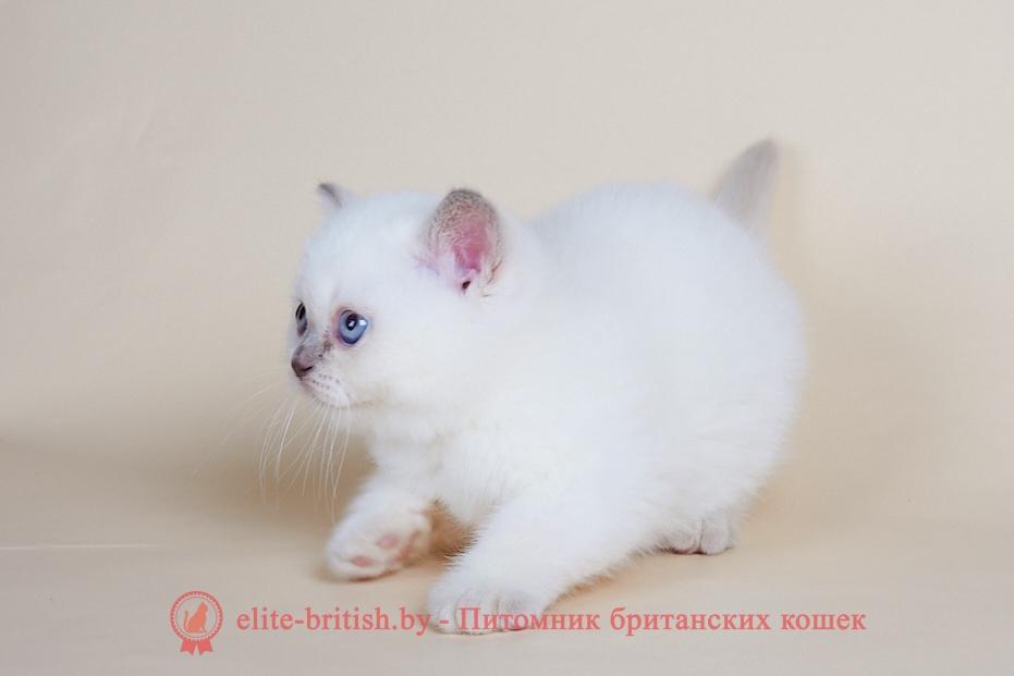 купить британца, британский кот блю поинт, британец колор поинт, британская кошка поинт колор, ританский кот поинт, британские котята поинт, британские котята блю поинт, ританские котята колор поинт, блю поинт британец, британцы лилак поинт, британец поинт, британские котята сил поинт, британские кошки блю поинт, британские котята окраса блю поинт, британец блю поинт фото, британец колор поинт фото, британская кошка колор поинт фото, блю пойнт британские кошки, британские кошки колор пойнт, блю пойнт британские котята, блю пойнт британцы, колор пойнт британец, кот британский колор пойнт, британские котята колор пойнт,
