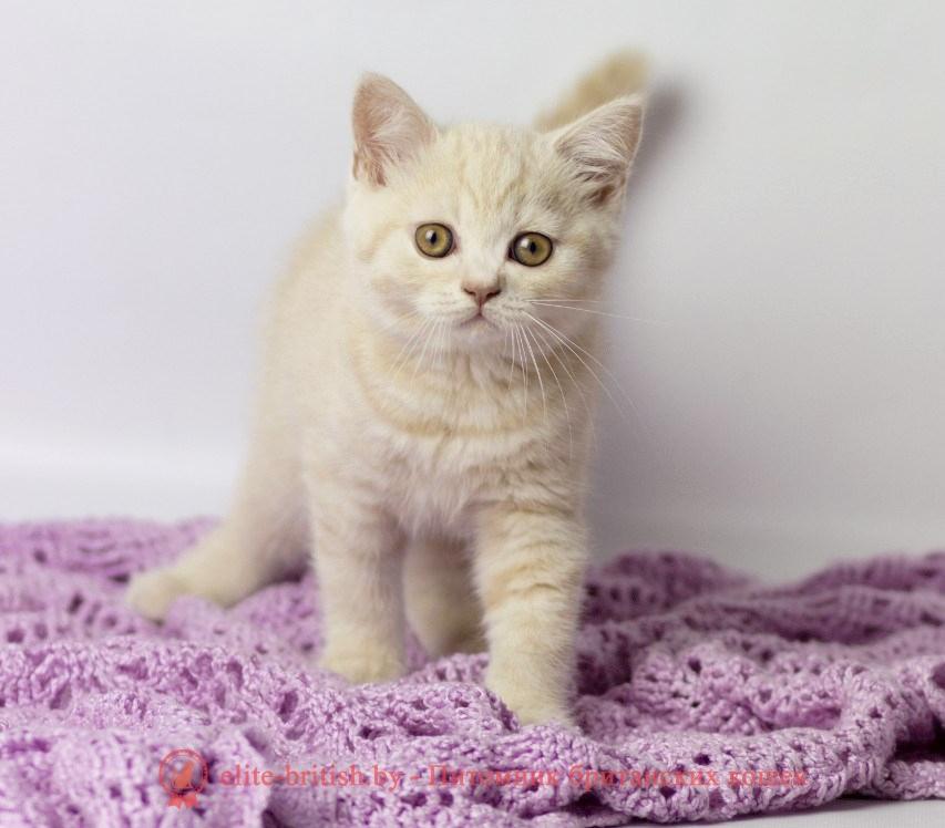 бежевые британцы, бежевый британец фото, кошки британские бежевые, бежевые британские коты, британские котята кремовые фото, британские кремовые коты фото, кремовый британец фото, британские котята кремового окраса фото, британец персикового цвета фото, британские котята персиковые фото, британские персиковые котята, британец персиковый, британец персиковый фото, британцы персикового окраса, британские котята кремового окраса, кремовый окрас британских кошек, британцы кремового окраса, британский кот кремового окраса, британская кошка кремовый окрас фото, британские котята кремового окраса фото