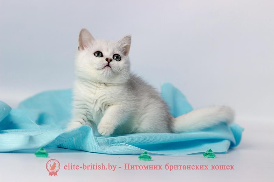 купить британского котенка, купить британца, британский кот серебристый, серебристый британец фото, серебристые британцы, британские серебристые котята, затушеванный британец, серебристый затушеванный британец, кошки британские серебристые, британская короткошерстная окраса серебро, британцы серебристая шиншилла, котята британские серебристые шиншиллы, британский кот серебристая шиншилла, британские кошки серебристая шиншилла, британская окрас серебристая шиншилла, затушеванный британец, серебристый затушеванный британец, кошки британские серебристые, британская короткошерстная окраса серебро