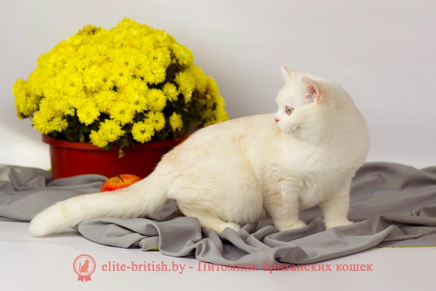 камео окрас, камео британец, камео британский кот, камео британская кошка, камео британские котята, камео окрас фото
