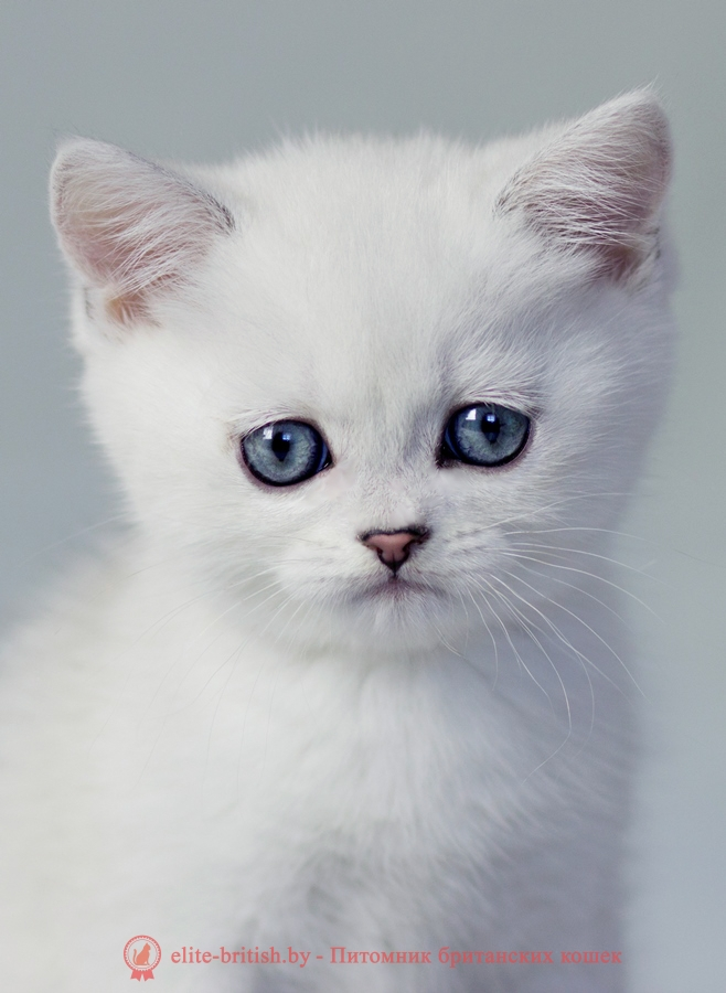 британский кот серебристый, серебристый британец фото, серебристые британцы, британские серебристые котята, завуалированный британец, серебристый завуалированный британец, кошки британские серебристые, британская короткошерстная окраса серебро, британцы серебристая завуалированный, котята британские серебристые шиншиллы, британский кот серебристая завуалированный, британские кошки серебристая завуалированный, британская окрас серебристая завуалированный