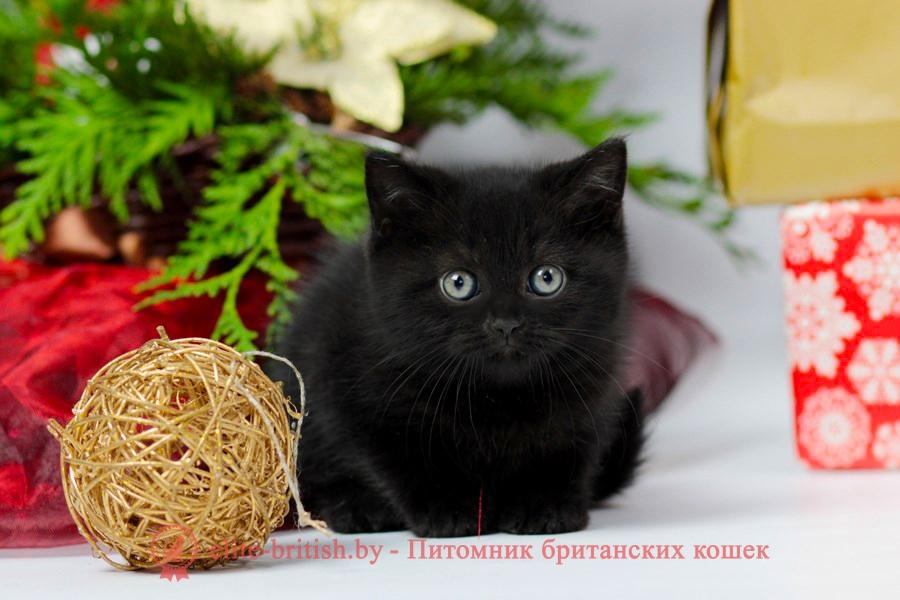 британец черный фото, черные британцы фото, черный британский кот фото, черные британские коты фото, черная британская кошка, черная британская кошка фото, черный британский кот, черные британские коты, британский черный котенок, черные британские котята, кот британец черный фото, черные коты британцы фото, черный британец