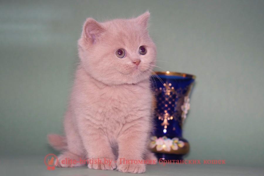 британская кошка фавн, британский кот фавн, британцы фавн, окрас фавн британских кошек, британская кошка фавн, британский кот фавн, британцы фавн, окрас фавн британских кошек,