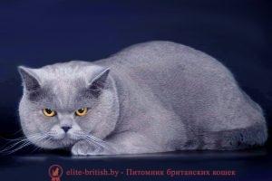 Британский кот голубого окраса Int.Ch.Vincent Vega Kis (BRI a)