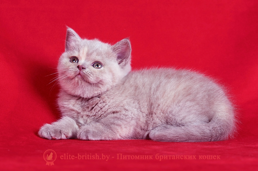 лиловый британец, британец лиловый фото, фото лиловых британцев, британский лиловый котенок, британские коты лилового окраса фото, фото лиловых британских котят, британские котята фото лиловые, британская кошка фото лиловая, фото лиловой британской кошки, британские котята лилового окраса фото, лиловая британская кошка, британский лиловый кот фото, британские котята лилового окраса, лиловый окрас британских кошек фото, лиловый британский кот, кот британец лиловый фото, лиловый окрас британских кошек, британцы лилового окраса, британец лилового цвета, британские котята черепахового окраса фото, черепаховый окрас британской кошки фото, черепаховый британец, британская черепаховая кошка фото, британцы черепахового окраса фото, кошки британские черепахового окраса, черепаховый британский кот, британские коты черепахового окраса, британская черепаховая кошка, британские черепаховые котята, британские котята черепахового окраса, британцы