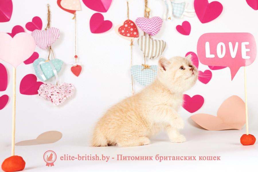 купить британского котенка, купить британца, бежевые британцы, бежевый британец фото, кошки британские бежевые, бежевые британские коты, британские котята кремовые фото, британские кремовые коты фото, кремовый британец фото, британские котята кремового окраса фото, британец персикового цвета фото, британские котята персиковые фото, британские персиковые котята, британец персиковый, британец персиковый фото, британцы персикового окраса, британские котята кремового окраса, кремовый окрас британских кошек, британцы кремового окраса, британский кот кремового окраса, британская кошка кремовый окрас фото, британские котята кремового окраса фото, британец голубой фото, голубые британцы фото, британский кошки голубой, британская голубая кошка, британская голубая кошка фото, британской голубой кошки фото, кот британский голубой, коты британские голубые, голубые британские котята фото, британский голубой котенок фото, британский голубой кот фото, фото британского голубого кота, окрас британских котят голубой фото, британские котята голубого окраса фото, британцы коты фото голубые, кот голубой британец фото, британский голубой котенок, британские голубые котята, британская вислоухая кошка фото голубая, британская голубая кошка фото цена, голубые британцы, голубой британец