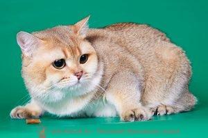 Британский кот золотого окраса CH. Oscar Elite Briton (BRI ny 1)