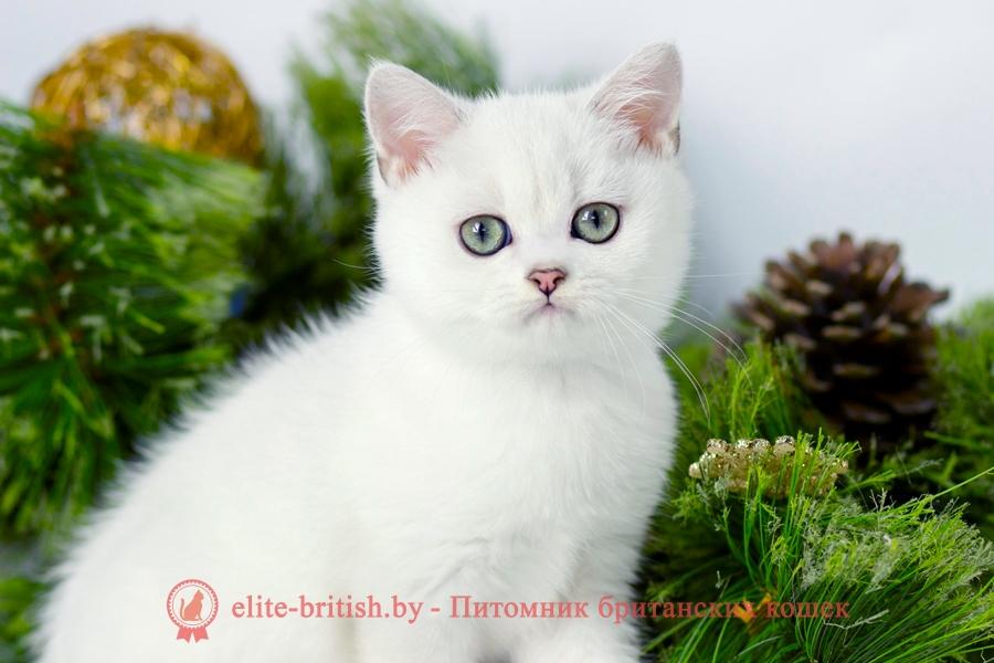 купить британского котенка, купить британца, британский кот серебристый, серебристый британец фото, серебристые британцы, британские серебристые котята, завуалированный британец, серебристый завуалированный британец, кошки британские серебристые, британская короткошерстная окраса серебро, британцы серебристая шиншилла, котята британские серебристые шиншиллы, британский кот серебристая шиншилла, британские кошки серебристая шиншилла, британская окрас серебристая шиншилла, завуалированный британец, серебристый завуалированный британец, кошки британские серебристые, британская короткошерстная окраса серебро