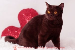 Британская кошка шоколадного окраса Tiffani Chocolate Dream Kis (BRI b)
