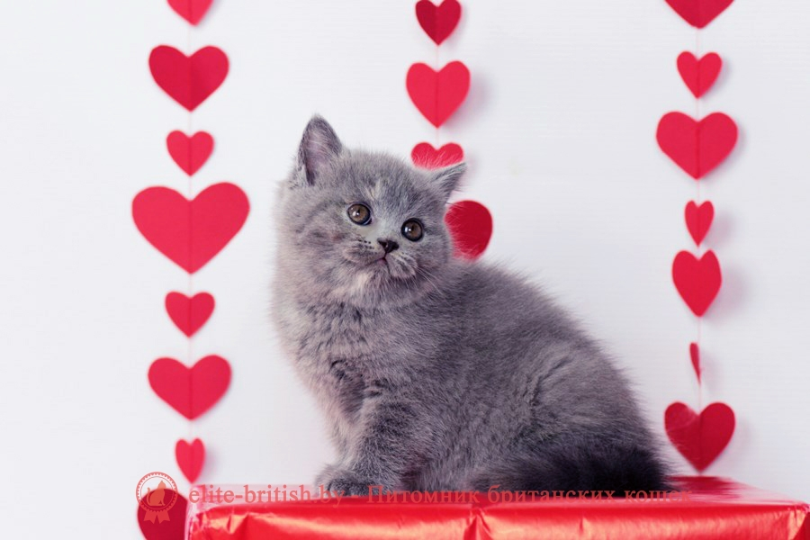 купить британского котенка, купить британца, британец голубой фото, голубые британцы фото, британский кошки голубой, британская голубая кошка, британская голубая кошка фото, британской голубой кошки фото, кот британский голубой, коты британские голубые, голубые британские котята фото, британский голубой котенок фото, британские котята черепахового окраса фото, черепаховый окрас британской кошки фото, черепаховый британец, британская черепаховая кошка фото, британцы черепахового окраса фото, кошки британские черепахового окраса, черепаховый британский кот, британские коты черепахового окраса, британская черепаховая кошка, британские черепаховые котята, британские котята черепахового окраса, британцы черепаховый окрас, черепаховые британцы фото, британские кошки черепахового окраса, британцы черепахового окраса, британская кошка черепаховый окрас фото, котята британские черепаховый окрас, британец черепахового окраса фото, британские котята черепахового окраса фото, британская кошка черепаший окрас, британский кот черепахового окраса