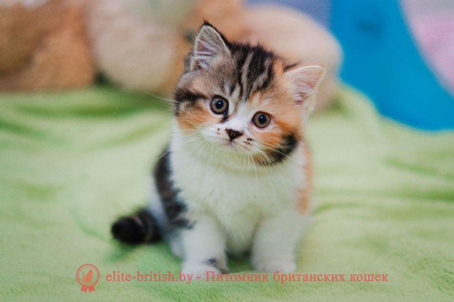 купить британского котенка, купить британца, британские котята черепахового окраса фото, биколор британская кошка, кот британский биколор, британский котенок биколор, голубой биколор британец, биколор британец, британские котята биколор фото, британцы биколор фото, британец голубой фото, голубые британцы фото, британский кошки голубой, британская голубая кошка, британская голубая кошка фото, британской голубой кошки фото, кот британский голубой, коты британские голубые, голубые британские котята фото, британский голубой котенок фото, британский голубой кот фото, фото британского голубого кота, черепаховый окрас британской кошки фото, черепаховый британец, британская черепаховая кошка фото, британцы черепахового окраса фото, кошки британские черепахового окраса, черепаховый британский кот, британские коты черепахового окраса, британская черепаховая кошка, британские черепаховые котята, британские котята черепахового окраса, британцы черепаховый окрас, черепаховые британцы фото, британские кошки черепахового окраса, британцы черепахового окраса, британская кошка черепаховый окрас фото, котята британские черепаховый окрас, британец черепахового окраса фото, британские котята черепахового окраса фото, британская кошка черепаший окрас, британский кот черепахового окраса