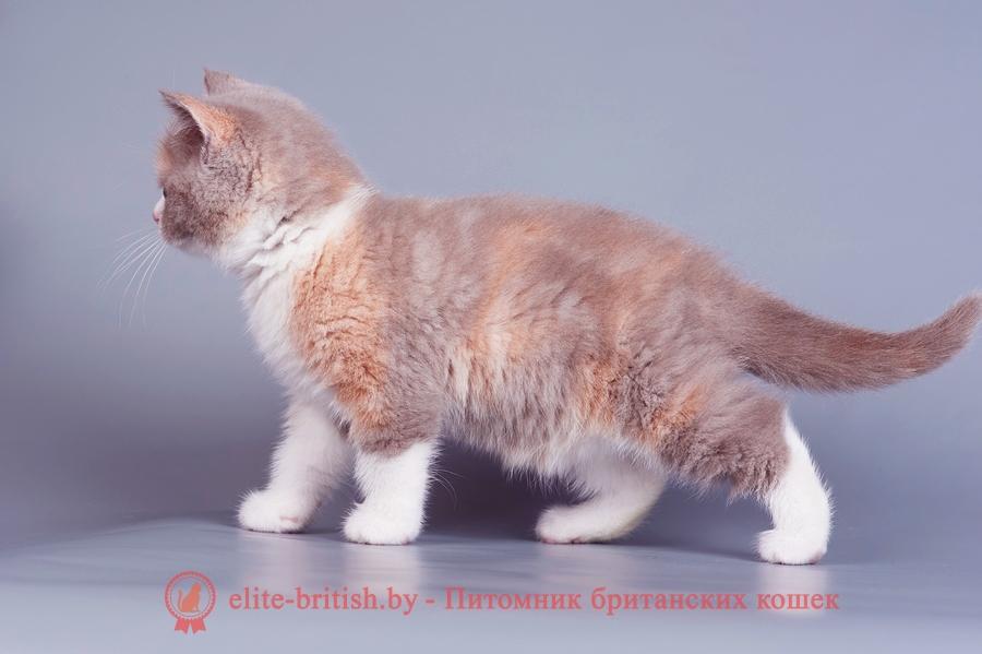 биколор британская кошка, кот британский биколор, британский котенок биколор, голубой биколор британец, биколор британец, британские котята биколор фото, британцы биколор фото, британские котята черепахового окраса фото, черепаховый окрас британской кошки фото, черепаховый британец, британская черепаховая кошка фото, британцы черепахового окраса фото, кошки британские черепахового окраса, черепаховый британский кот, британские коты черепахового окраса, британская черепаховая кошка, британские черепаховые котята, британские котята черепахового окраса, британцы черепаховый окрас, черепаховые британцы фото, британские кошки черепахового окраса, британцы черепахового окраса, британская кошка черепаховый окрас фото, котята британские черепаховый окрас, британец черепахового окраса фото, британские котята черепахового окраса фото, британская кошка черепаший окрас, британский кот черепахового окраса