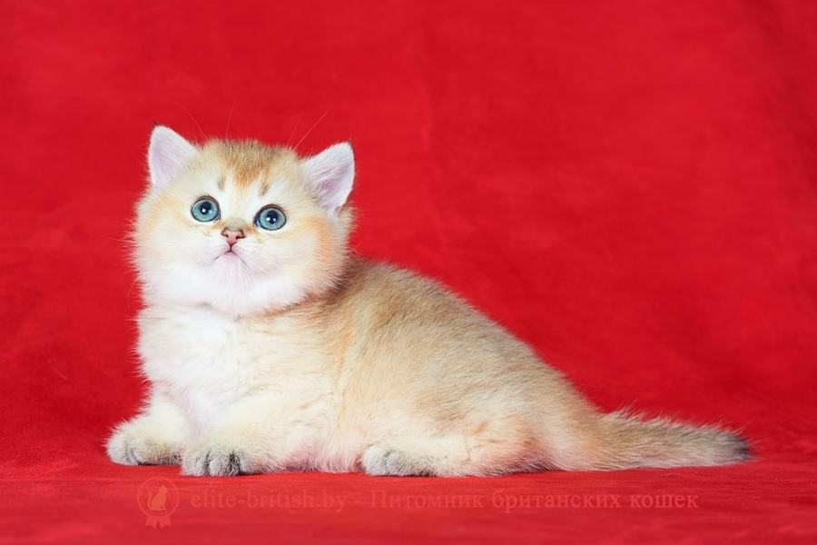 золотой британский кот, золотые британцы фото, золотой британец, британская кошка золотая затушеванная, британский кот затушеванная золотая, золотой тикированный британец, британец золотая затушеванная, британец золотистый, котята британские окрас золотая затушеванная, британская кошка золотая затушеванная фото, британец окрас золотая затушеванная фото, британский золотой котенок, британская золотая кошка, британские котята золотая затушеванная, британский золотистый кот, кот золотой британец, британцы окрас золотой, британцы окрас золотая затушеванная, котята британцы золотая затушеванная, золотистые британские котята, британские котята золотого окраса, британцы золотая затушеванная фото, золотой окрас британских кошек, британцы золотого окраса, британские котята золотого окраса, британец окрас золотая затушеванная, британские котята окраса золотая затушеванная, питомник британских кошек золотых окрасов, британец окрас золотая затушеванная фото