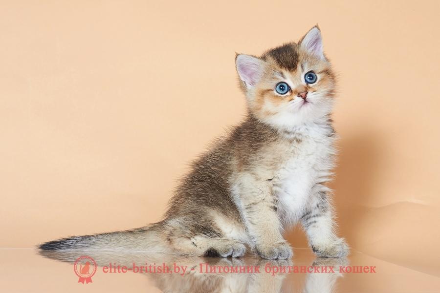 золотой британский кот, золотые британцы фото, золотой британец, британская кошка золотая тикированный, британский кот тикированный золотая, золотой тикированный британец, британец золотая тикированный, британец золотистый, котята британские окрас золотая тикированный, британская кошка золотая тикированный фото, британец окрас золотая тикированный фото, британский золотой котенок, британская золотая кошка, британские котята золотая тикированный, британский золотистый кот, кот золотой британец, британцы окрас золотой, британцы окрас золотая тикированный, котята британцы золотая тикированный, золотистые британские котята, британские котята золотого окраса, британцы золотая тикированный фото, золотой окрас британских кошек, британцы золотого окраса, британские котята золотого окраса, британец окрас золотая тикированный, британские котята окраса золотая тикированный, питомник британских кошек золотых окрасов, британец окрас золотая тикированный фото
