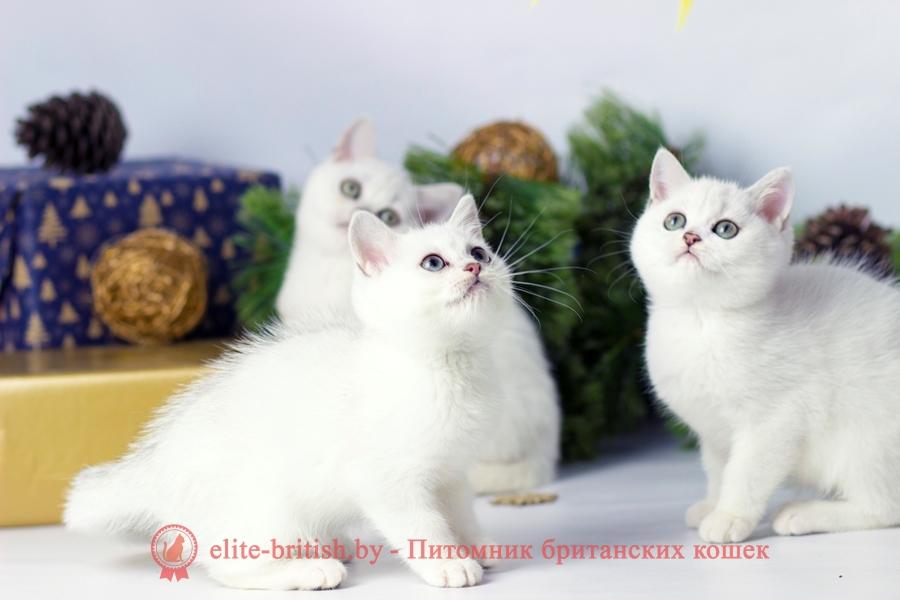 Типированный окрас британских кошек. Серебристая британская шиншилла