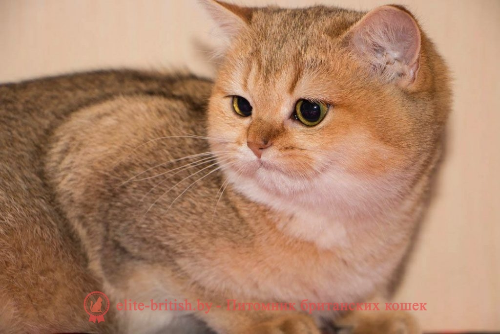 котята 8 месяцев, британский котенок 8 месяцев, развитие котят по неделям,рост котят по неделям, как определить сколько недель котенку, развитие котенка по неделям фото, как узнать сколько недель котенку, сколько месяцев котенку, котенок до скольки месяцев, развитие котенка по месяцам, размер котят по месяцам, rjnznf 8 vtczwtd