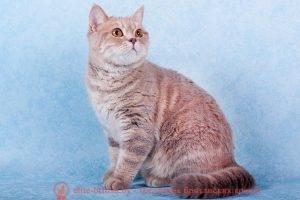 Британская кошка лилового мраморного окраса I.CH. HYUNDAI SANTA FE HELGA'S PLEASURE (BRI с 22)