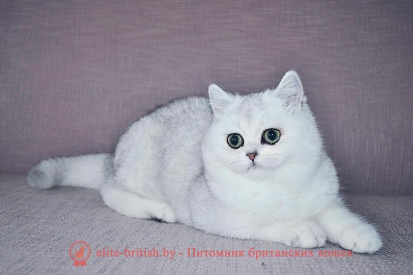 котенок 7 месяцев, британские котята 7 месяцев фото, развитие котят по неделям,рост котят по неделям, как определить сколько недель котенку, развитие котенка по неделям фото, как узнать сколько недель котенку, сколько месяцев котенку, котенок до скольки месяцев, развитие котенка по месяцам, размер котят по месяцам, rjntyjr 7 vtczwtd, ,hbnfycrbt rjnznf 7 vtczwtd