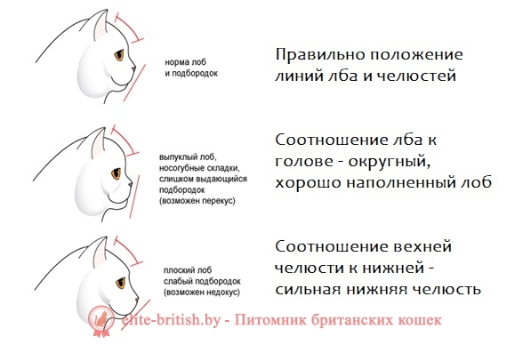 какое телосложение у британских кошек телосложение британских кошек какое тело у британских кошек тело британской кошки
