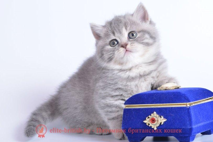британский полосатый кот, кот британец полосатый, британская кошка полосатая, британцы коты фото полосатые, британский полосатый кот фото, британская полосатая кошка фото, британские котята полосатые, котенок британец полосатый, британские полосатые котята фото, британская кошка полосатая серая, коты британцы полосатые серые, кот британец фото прямоухий полосатый, британский вислоухий кот полосатый, британская вислоухая полосатая кошка, британская короткошерстная кошка полосатая, британский кот полосатый серый, фото котят британцев полосатых, кот британец вислоухий полосатый, кошки британцы фото полосатые, британские котята фото серые в полоску, полосатая кошка британской породы, британский вислоухий полосатый кот фото, полосатые вислоухие котята британцы, британский котенок серый с полосками, британская короткошерстная полосатая, британский кот в полоску, кот британец серый полосатый фото, британский кот фото серый в полоску