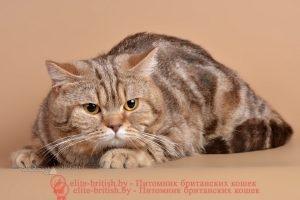 Британский кот шоколадного мраморного окраса Райдон