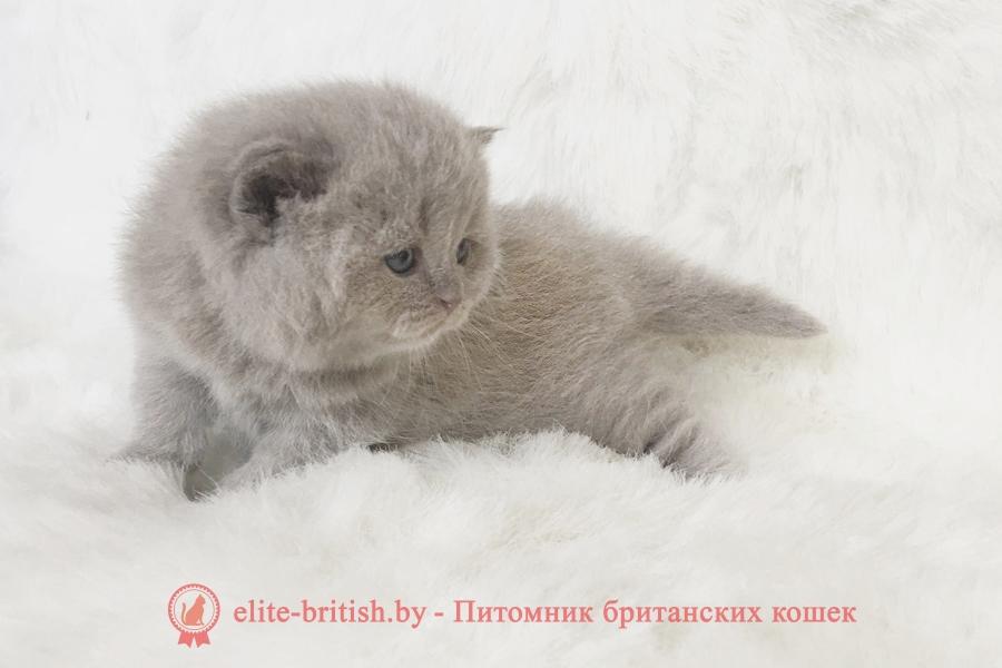 котенок 2 недели, котенок две недели, котенок 2 3 недели, британские котята 2 недели, вислоухие котята 2 недели фото, котята фото две недели, британские котята 2 недели фото, развитие котят по неделям,рост котят по неделям, как определить сколько недель котенку, развитие котенка по неделям фото, как узнать сколько недель котенку