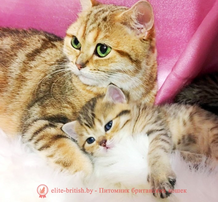 котенку 3 недели, котята в три недели, котята 3 недели фото, котенок 2 3 недели, шотландские котята 3 недели, британские котята 3 недели, вислоухие котята 3 недели фото, развитие котят по неделям, рост котят по неделям, как определить сколько недель котенку, развитие котенка по неделям фото, как узнать сколько недель котенку, rjntyre 3 ytltkb, rjnznf d nhb ytltkb, rjnznf 3 ytltkb ajnj, развитие котят по неделям, рост котят по неделям, как определить сколько недель котенку, развитие котенка по неделям фото, как узнать сколько недель