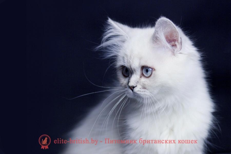 котенок 4 месяца, котята британские 4 месяца, котенок 4 месяца фото, шотландские котята 4 месяца, британские котята 4 месяца фото, котенок 4 месяца британец, сибирские котята 4 месяца, фото 4 месяца шотландские котята, рост котенка в 4 месяца, поведение котенка в 4 месяца, развитие котят по неделям,рост котят по неделям, как определить сколько недель котенку, развитие котенка по неделям фото, как узнать сколько недель котенку, сколько месяцев котенку, котенок до скольки месяцев, развитие котенка по месяцам, размер котят по месяцам, rjntyjr 4 vtczwf, rjnznf ,hbnfycrbt 4 vtczwf, rjntyjr 4 vtczwf ajnj