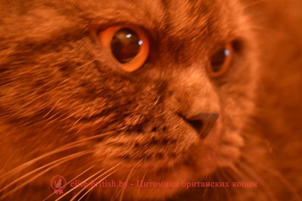 купить британского котенка, купить британца, шоколадные британцы фото, британские кошки шоколадного окраса фото, британские шоколадные котята фото, британские кошки шоколадный окрас, шоколадный британец, британская шоколадная кошка фото, британский шоколадный кот фото, купить британского котенка шоколадного окраса, котенок британец шоколадный, шоколадные британцы котята фото, шоколадная британская кошка, шоколадный британский кот, британские коты шоколадного окраса, британские коты шоколадного окраса фото, британские котята шоколадного окраса фото, британец кот шоколадный, шоколадный британский котенок, британский котенок шоколадного окраса, шоколадные британские котята купить, британский вислоухий шоколадный котенок, купить шоколадного котенка британца, кошки британцы шоколадные, шоколадные британцы купить, британцы окрас шоколадный, британец шоколадного цвета