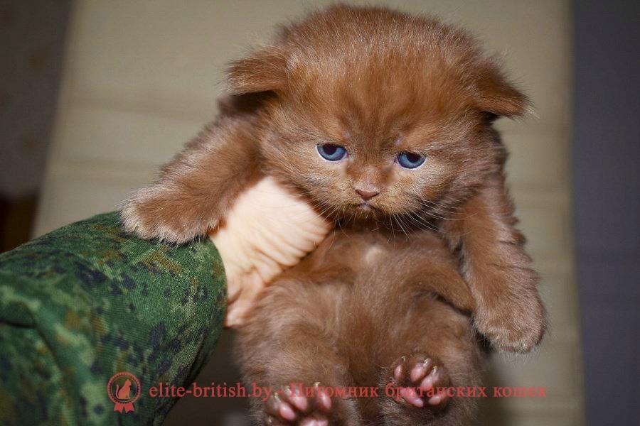 британский длинношерстный котенок цвета корицы, британские котята цвета корицы, британский короткошерстный котенок цвета корицы, британские котята цвета корицы, циннамон британец, британские кошки циннамон, британский кот циннамон, британские котята циннамон, британцы окраса циннамон, циннамон британец фото