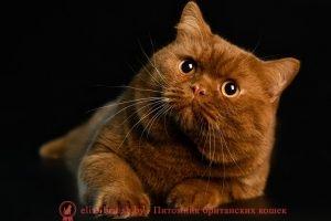 Британский кот циннамон I.CH. Ivars Ferry Happiness