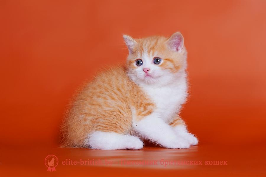 биколор британская кошка, кот британский биколор, британский котенок биколор, красный биколор британец, биколор британец, британские котята биколор фото, британцы биколор фото